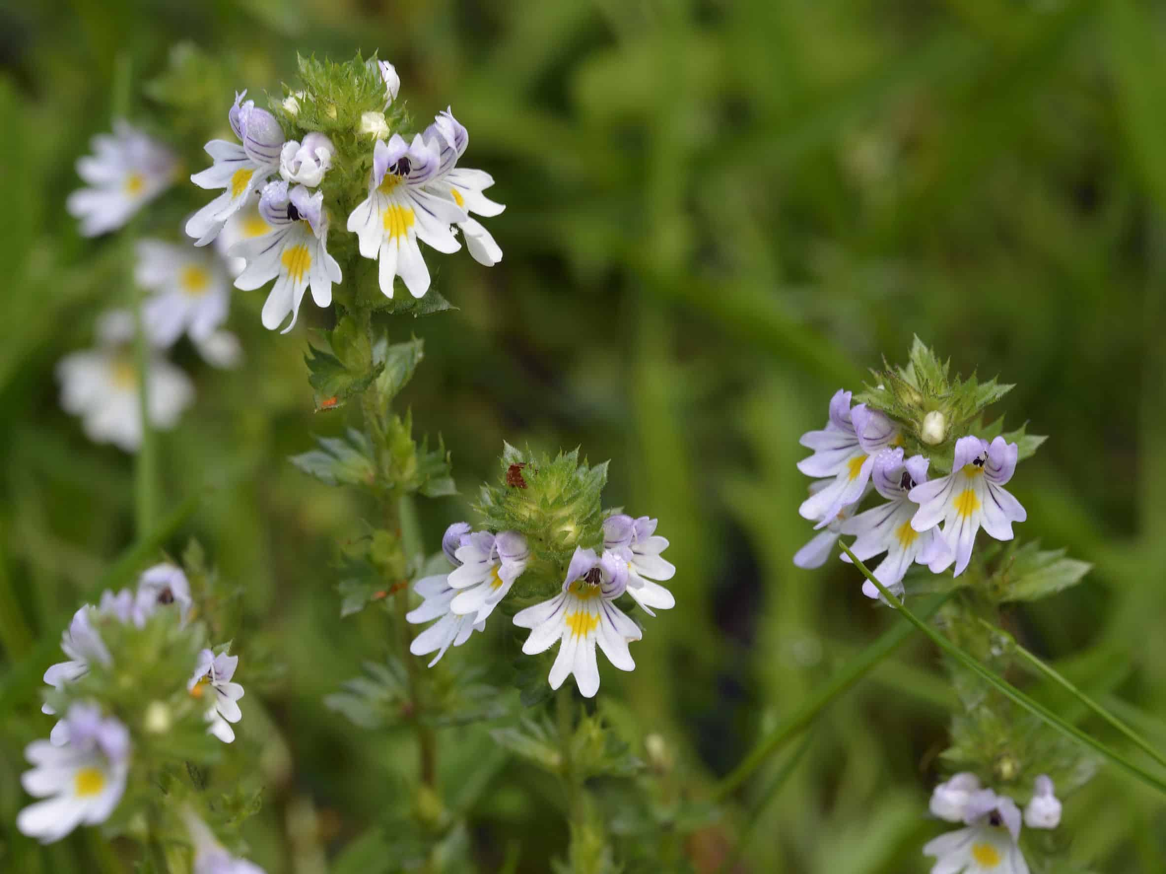 The Best Eyebright: Shopping Guide and Recommendations (09/21)