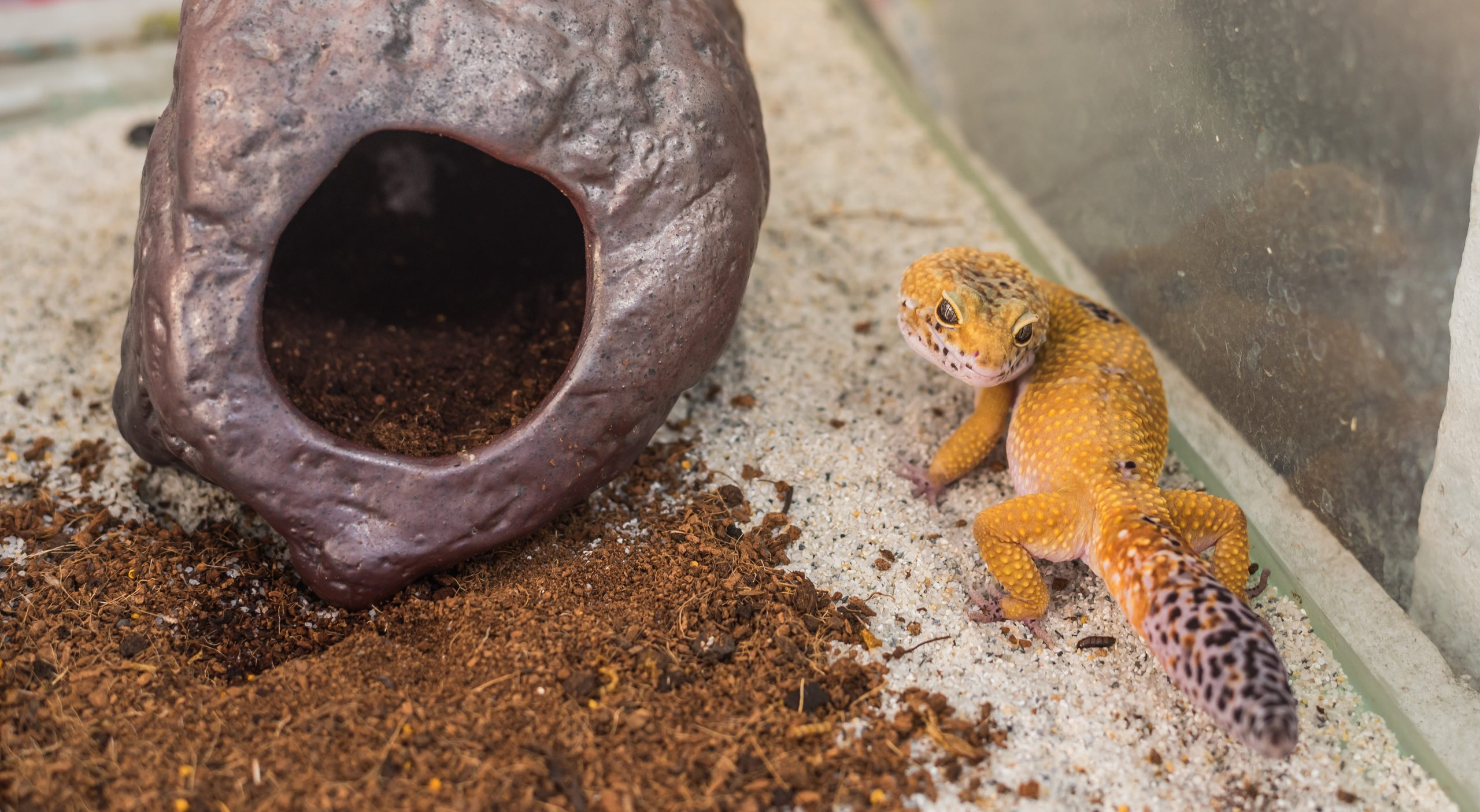 image of leopard gecko (Eublepharis macularius) lizard and hive on sand.