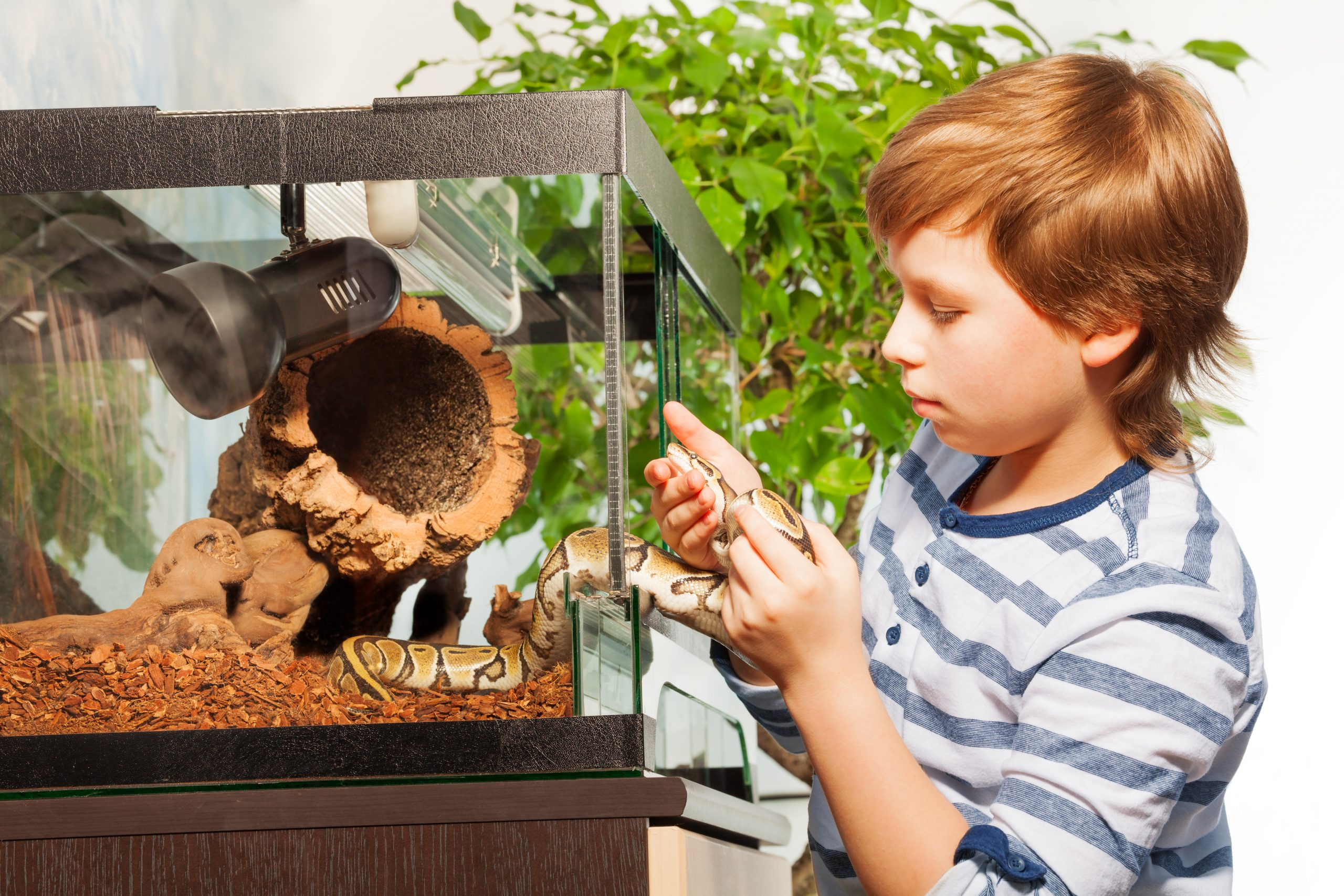 Brave young boy getting Royal or Ball python out of terrarium and playing with it