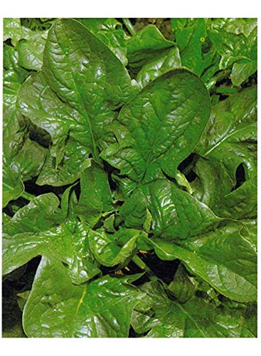 PREMIER SEEDS DIRECT Spinach - Giant Winter - 28 Gram ~ Approx 1960 Seeds