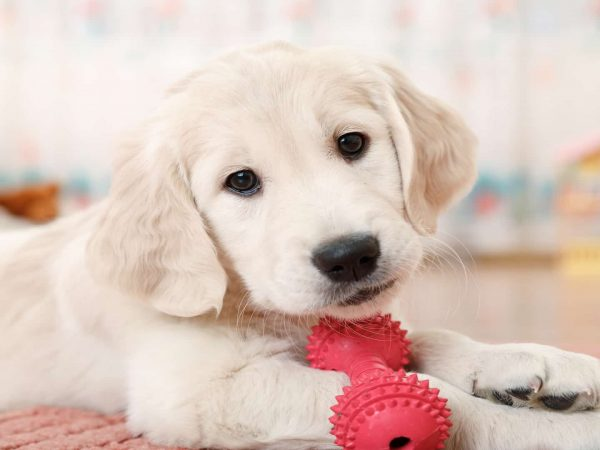 labrador retriever puppy playing with toy at room