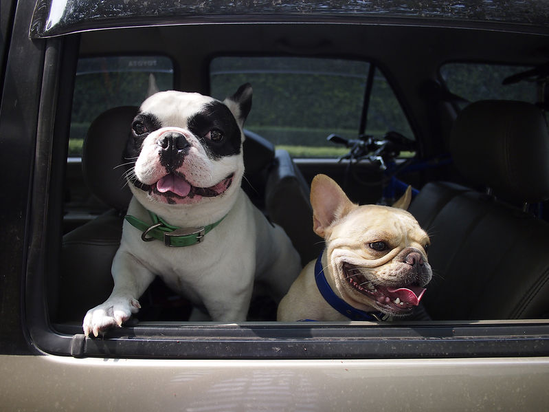 French bulldog on car
